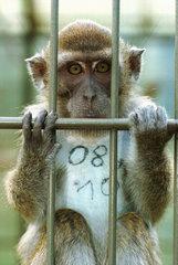 Primaten im Tierversuch