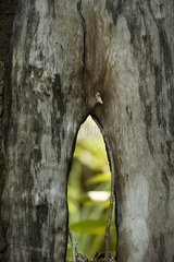 Close-up of mangrove trunk
