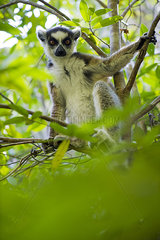 Ring-tailed lemur sitting in tree