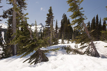 Evergreen trees leaning in deep snow  Mount Rainier National Park  Washington  USA