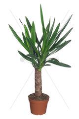 Yucca  Palmlilie  Palm-Lilie  Riesenpalmlilie  Riesen-Palmlilie  Yucca elephantipes  Elephant Yucca