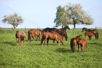 Gestuet Etzean  Stuten und Fohlen im Fruehling auf der Weide