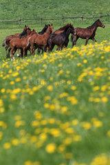 Gestuet Etzean  Pferde im Fruehling auf einer Weide