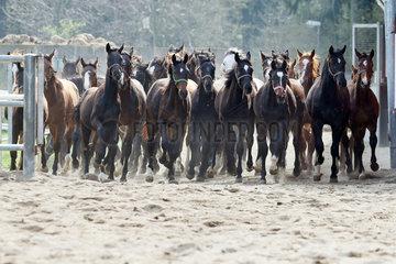 Gestuet Graditz  Pferde galoppieren auf einen Sandpaddock
