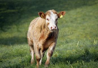Etzean  Deutschland  Rind auf der Weide schaut aufmerksam
