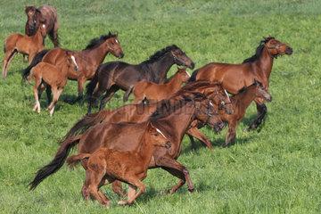 Gestuet Etzean  Stuten und Fohlen im Galopp auf der Weide. Im Vordergrund Peace of Glory mit Stutfohlen von Lord of England