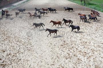 Gestuet Graditz  Vogelperspektive  Pferde in Bewegung auf einem Sandpaddock