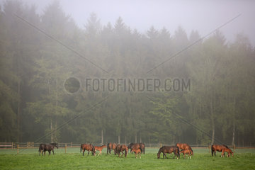 Gestuet Etzean  Stuten und Fohlen bei Nebel auf der Weide