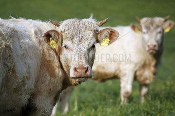 Gestuet Etzean  Rinder schauen aufmerksam zum Betrachter