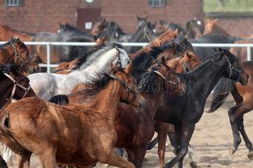 Gestuet Graditz  Pferde im Galopp auf einem Sandpaddock