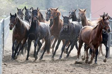 Gestuet Graditz  Pferde traben auf einen Sandpaddock