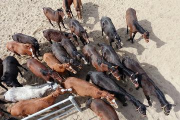 Gestuet Graditz  Vogelperspektive  Pferde verlassen einen Sandpaddock