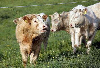 Etzean  Deutschland  Rinder auf der Weide hinter einem Elektrozaun