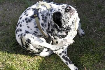 Hoppegarten  Deutschland  Dalmatiner kratzt sich mit der Hinterpfote am Hals