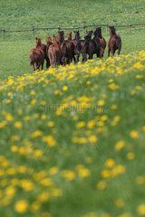Gestuet Etzean  Pferde galoppieren im Fruehling auf einer Weide