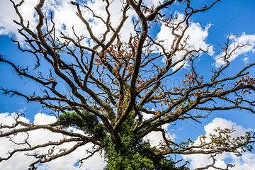 Alter knorriger Baum vor blauem Himmel und weissen Wolken