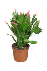 Weihnachtskaktus  Weihnachts-Kaktus  Schlumbergera-Hybride  christmas cactus