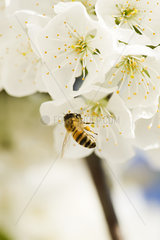 Bee gathering pollen on cherry blossom