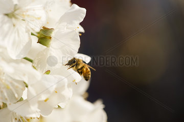 Bee gathering pollen on cherry blossoms