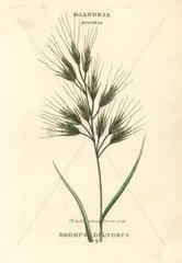 Upright annual broom-grass  Bromus diandrus