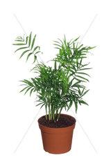 Bergpalme  Berg-Palme  Chamaedorea elegans  Parlour Palm