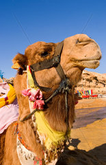 Ugly camel close up portrait in Sahara Desert in Douz Tunisia in Africa