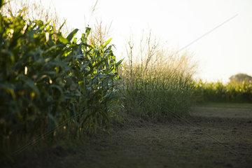 Dirt road next to cornfield