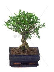 Junischnee  Serissa foetida  Serissa japonica  serissa  yellow rim