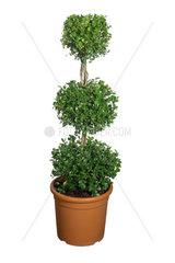 Gewoehnlicher Buchsbaum  Buxus sempervirens  common box  boxwood
