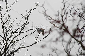 Bird flying through bare tree branches