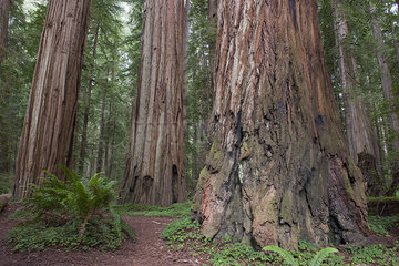 Giant redwood trees  Redwood National Park  California  USA