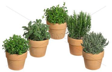 Gewuerzpflanzensortiment: Oregano  Salbei  Pfefferminze  Rosmarin  Thymian  spicery assortment: origanum  sage  pepermint  rosmary  thyme