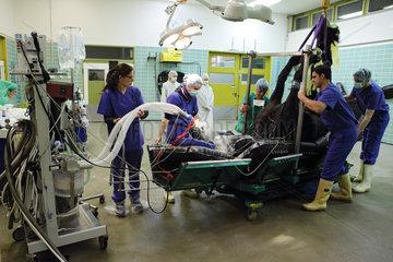 Berlin  Deutschland  ein narkotisiertes Pferd wird vor einer Operation intubiert