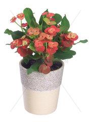 Christusdorn  Dornenkrone  Euphorbia milii  crown-of-thorns  Christ plant