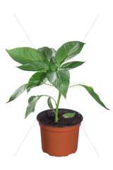 Gelber Paprika  Capsicum annuum  yellow paprika