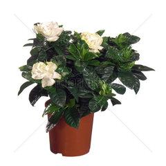 Gardenie  Gardenia jasminoides  Gardenia augusta  Cape jasmine