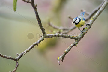 Blue tit (Cyanistes caeruleus) perched on branch with worm in its mouth