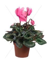 Zimmer-Alpenveilchen  Cyclamen persicum  Florists Cyclamen