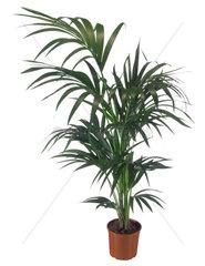 Kentia-Palme  Kentiapalme  Howeia Palme  Howeia fosteriana  Kentia  Paradise Palm