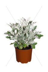 Silberblatt  Silber-Blatt  Zweifarbiges Greiskraut  Senecio cineraria  Senecio bicolor  Sea Ragwort  Dusty Miller  Silver Groundsel
