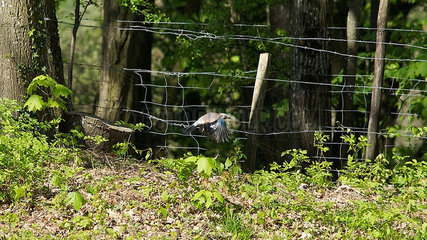 Bird flying near barbed wire fence