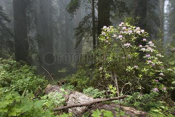 Azalea blooming in forest