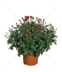 Garten-Chrysantheme  Herbst-Chrysantheme  Winter-Aster  Gartenchrysantheme  Herbstchrysantheme  Winteraster  Dendranthema x grandiflorum  Dendranthema grandiflorum  Dendranthema indica  Chrysanthemum indicum  Chrysanthemum grandiflorum  Chrysanthemum x gr