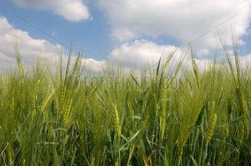Hilkerode  Getreidefeld im Eichsfeld