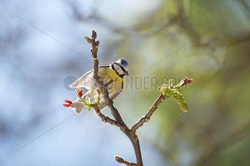 Blue tit (Cyanistes caeruleus) perched on branch