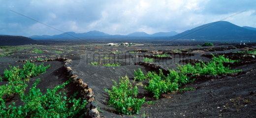 Weinanbau  La Geria  Lanzarote  Kanarische Inseln