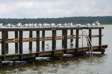 Goldberg  Deutschland  Moewen auf einem Steg bei Regenwetter am Goldberger See