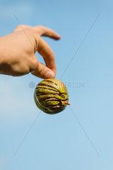 Apfelschnitte
