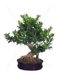Ginseng-Bonsai  Ficus retusa  Ficus Ginseng  laurel fig