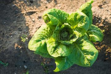 Romaine lettuce growing in vegetable garden